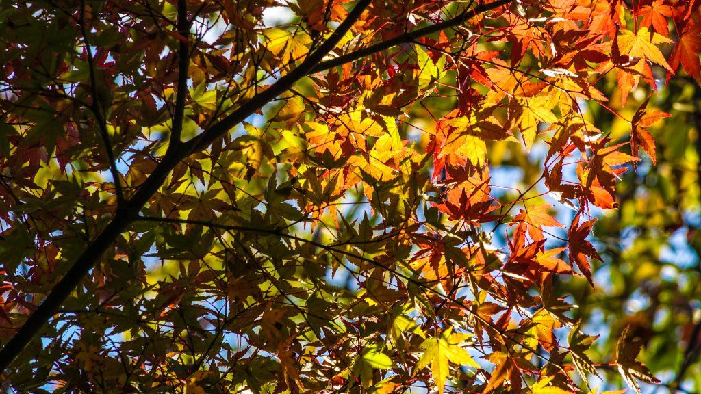 11月の半ばが有野実苑オートキャンプ場では紅葉が見頃。