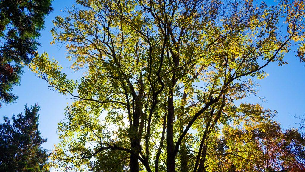 カエデの木の紅葉